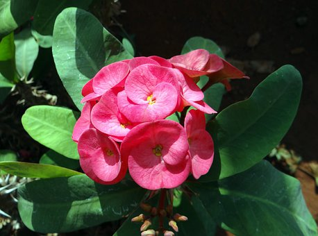 Euphorbia, Pink, Flower, Hubli, Nrupatunga Betta, India