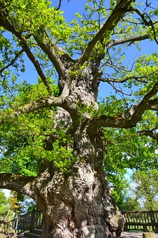 Guillotin Oak, Old Tree, Old Oak, Oak, Forest