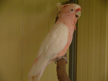 Cockatoo, Parrot, Birds, Bird, Galah, Pink