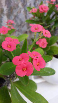 Flower, Kirin Flower, Euphorbia Milii, Pink Red