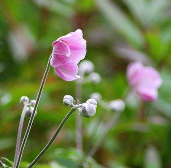 Harvest Anemone, Perennial, Pink, Flower, Plant