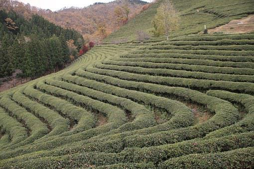 Korea, Tea, Plantation, Boseong