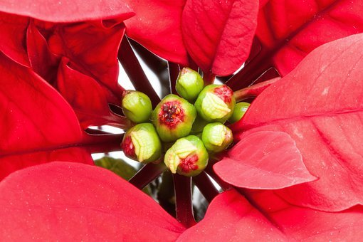 Leaf, Red, Poinsettia, Euphorbia, Pulcherrima