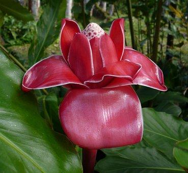 Martinique, Rainforest, Nature, Exotic, Porcelain Rose