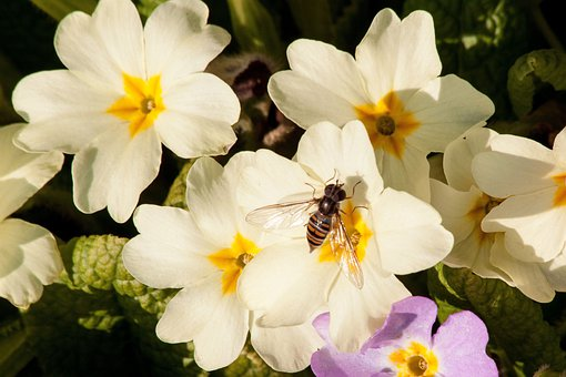 Primroses, Primula Vulgaris Hybrid, Yellowish