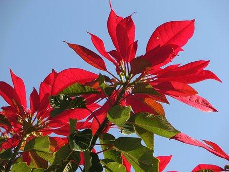 Poinsettia, Euphorbia Pulcherrima, Red, Blossom, Bloom
