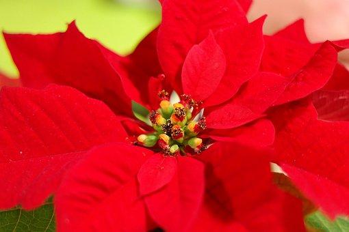 Poinsettia, Flower, Blossom, Bloom, Red