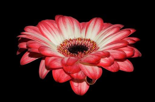 Gerbera, Petals, Red, Macro, Flower, Bloom, Wet