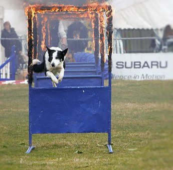 Sheep Dog, Jumping Through Fire, Bravery, Competition