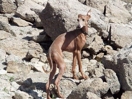 Spanish Greyhound, Dog, Canine Race, Pet, Puppy