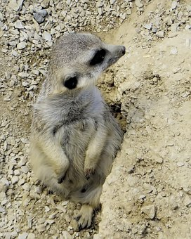 Suricate, The Prairie Rat, Mimicry, Rodent, Animal