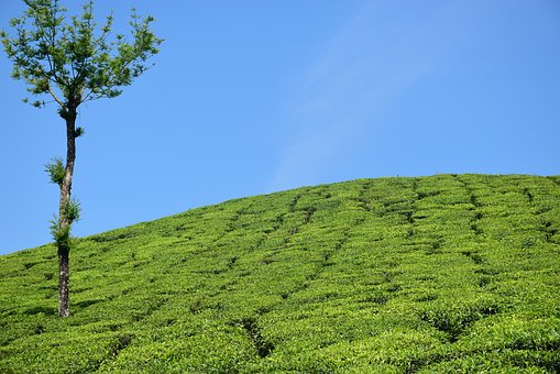 Tea Garden, Tea Plantation, Tea Estate, Munnar, Kerala
