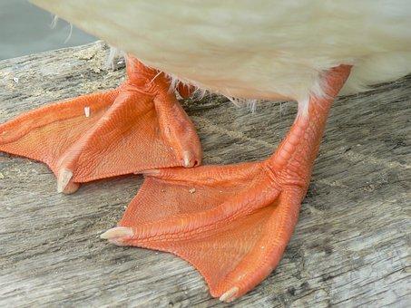 Duck, Feet, Web-footed