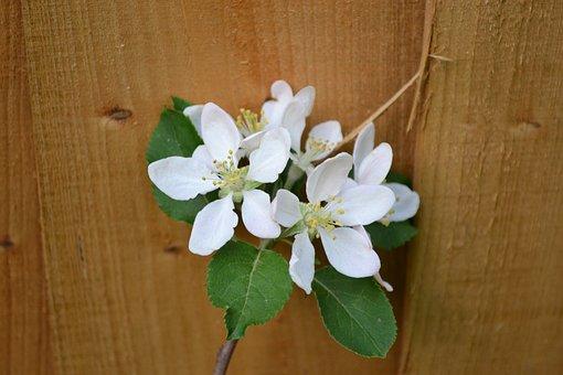 Plum Blossom, Blossom On Fence, Spring, White, Flower