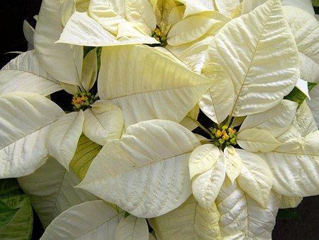White Poinsettia, Poinsettias, Christmas Flower