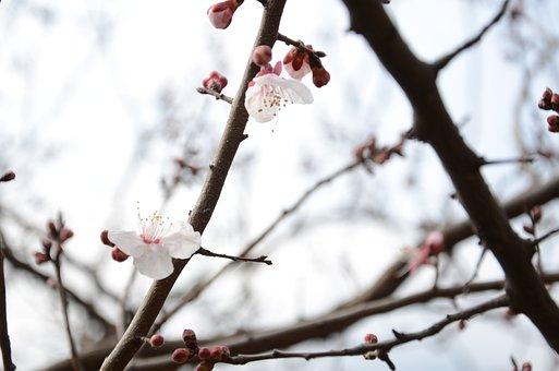 Plum Blossom, White, Pure