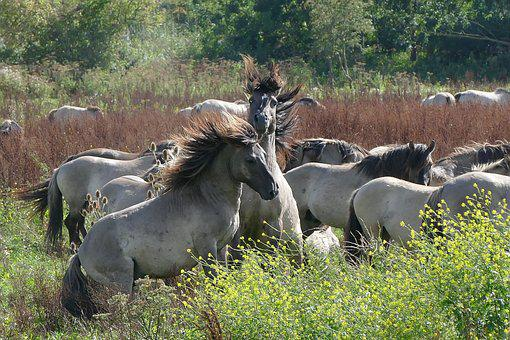 Horses, Nature, Wild, Animals, Wild Life, Konikspaarden