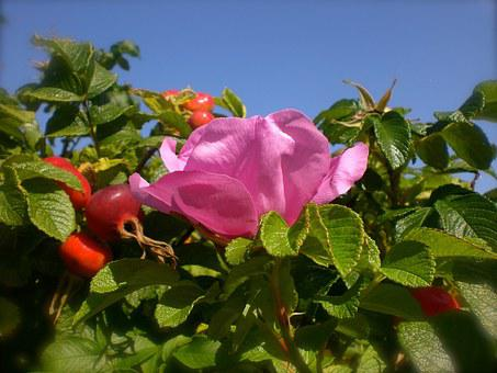 Wild Rose, Rose Hip, Roses, Potato Rose, Apple Rose