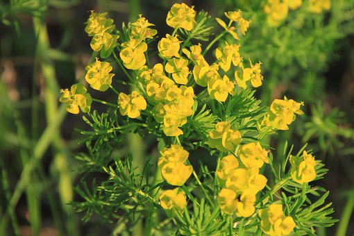 Cyparissias, Flowers, Flora, Yellow, Cypress, Euphorbia