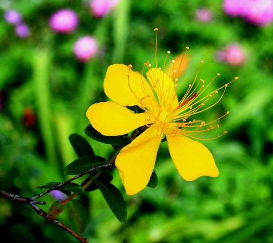 Yellow Hypericum Flower, Flower, Yellow, Dainty