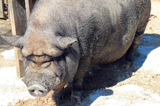 Pot Bellied Pig, Pig, Sow, Thick, Animal, Farm