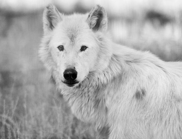 Wolf, White, Nature, Fauna, Wild Life, Plume, Animals