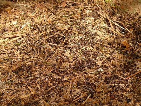 Ants, Wood Ants, Formica, Red Wood Ant, Formica Rufa