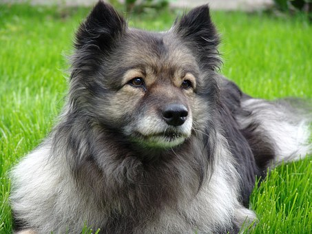 Dog, Keeshond, Attention, Pointed, Race, Dog Breed