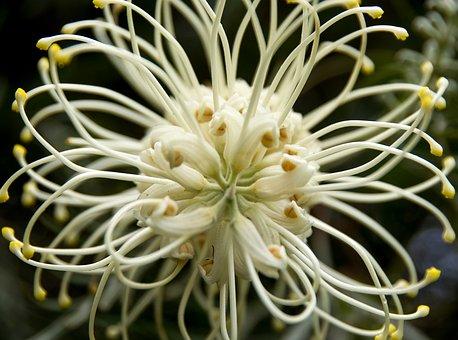 Grevillea Moonlight, Grevillea, Flower, Australian