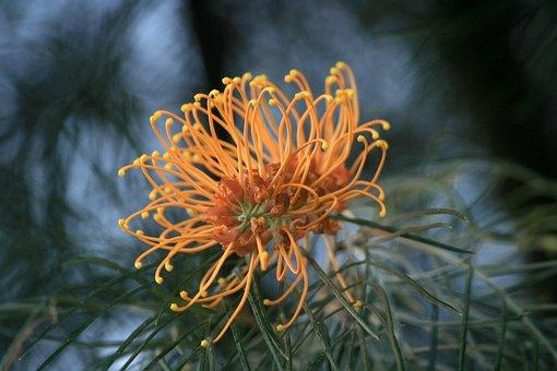 Flower, Australian, Flora, Nature, Plant, Native, Bush