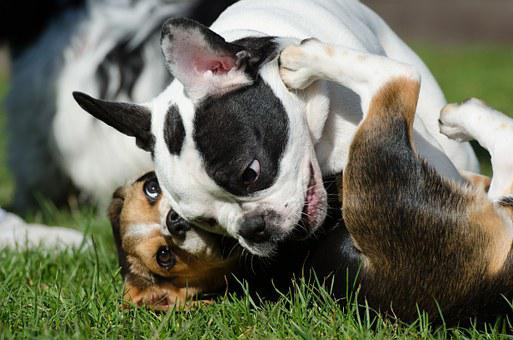 French Bulldog, Puppy, Beagle, Hunting Dog, Pack Dog