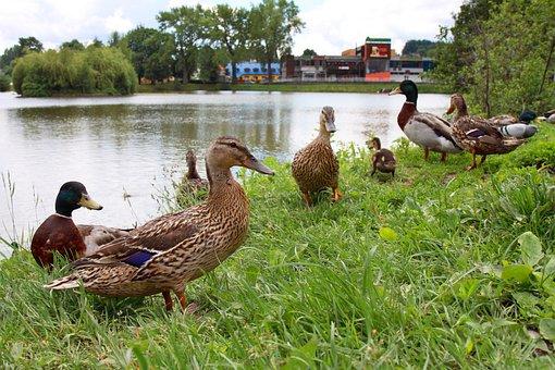 Animal, Animals, Beak, Bird, Birds, Crowd, Duck