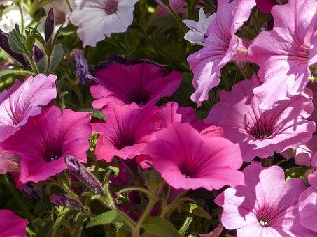 Cluster, Petunia, Pink, Purple, White, Hanging, Basket