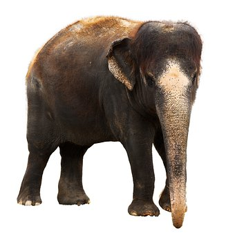 Animal, Asian, Brown, Cutout, Elephant, Herbivore, Huge