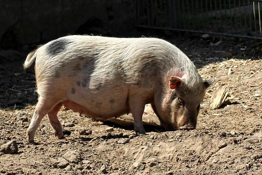 Pot Bellied Pig, Pig, Animal, Domestic Pig, Female