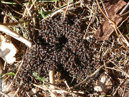 Wood Ants, Ants, Red Wood Ant, Formica Rufa