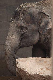 Animal, Asian, Ear, Elephant, Eye, Face, Grey, Head