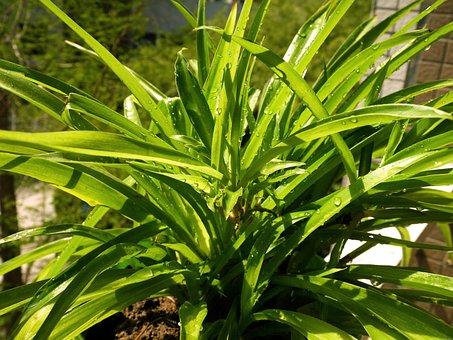 Green, Spring, Hanging Basket, Spider Plant, Drops, Wet
