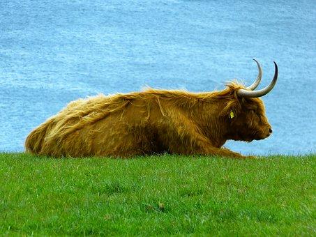 Highland Beef, Highland Cattle, Kyloe