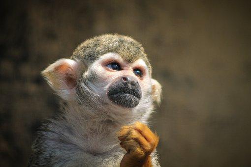 Monkey, Maki, Majomféle, Tamarin, Makiféle