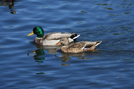 Mallards, Mallard, Ducks, Male Mallard, Female Mallard
