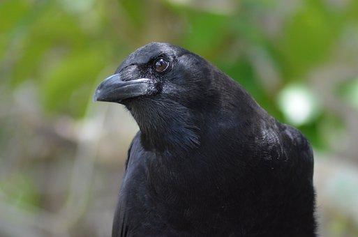 Bird, Black, Merle, Nature, Animals, Ornithology, Fauna