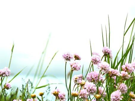 Armeria Maritima, Pink, Nature, Sweden, Beautifully