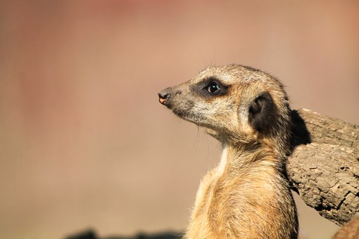 Meerkat, Portrait, Animal, Nature, Head, Mood