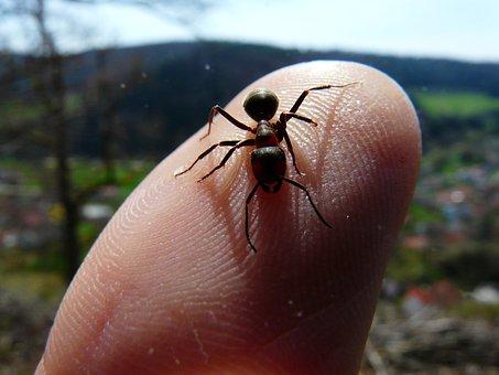 Red Wood Ant, Ants, Animal, Finger
