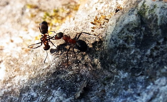 Red Wood Ant, Formica Rufa, Insect, Forest, Nature