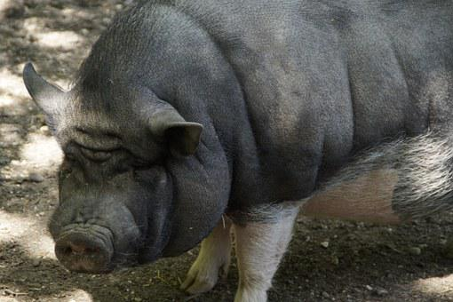 Pot Bellied Pig, Pig, Ponderous, Thick, Skin, Mammal