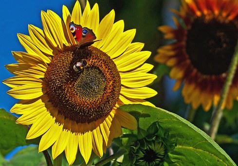 Butterfly, Bumblebee, Insect, Summer, Nectar