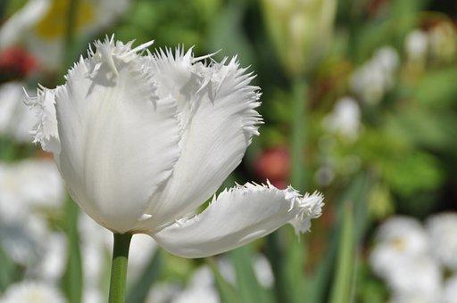 Tulip, White, Spring, Blossom, Bloom, Noble Tulip