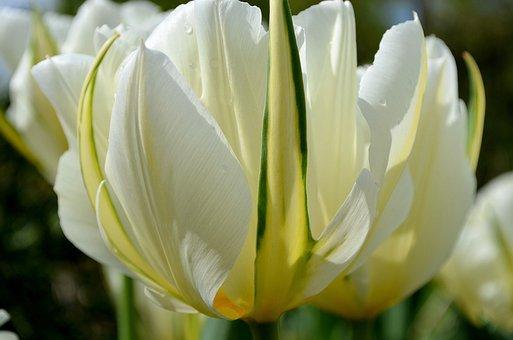 Tulip, White, Green, Yellow, Blossom, Bloom, Flower
